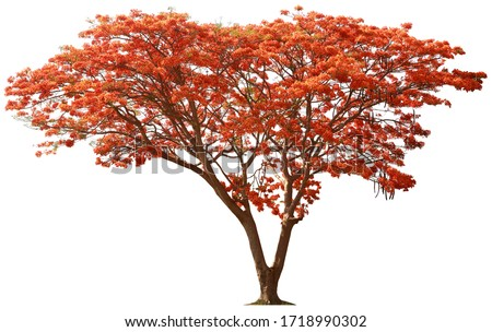 The tree of Flam-boyant or Royal Poinciana deciduous in the summer season and spread wide bush,Isolated on white background. The flowers are red and yellow at the end of the branches with 5 petals. #1718990302
