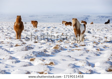 The Icelandic horse is a breed of horse developed in Iceland. Although the horses are small, at times pony-sized, most registries for the Icelandic refer to it as a horse. Icelandic horses are long-li #1719011458
