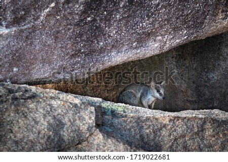 Elusive shy rock wallaby hiding among rocks in triangle shape, profile picture. Magnetic Island, Queensland, Australia