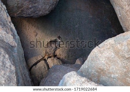 Elusive shy rock wallaby hiding among rocks, in the shade. Full body picture. Magnetic Island, Queensland, Australia