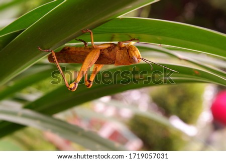 "Close up picture of ""belalang kunyit"" or Valanga nigricornis in between leaves. Macro grasshopper"