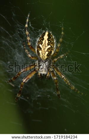 Closeup picture of the oak spider Aculepeira ceropegia (Araneae; Araneidae), a very beautiful orb-weaving spider in its web photographed in southern Germany
