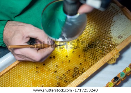 Larva of bee, selected for growing queen bee. Tool for picking larvae from honeycombs on a frame. Honeybee Queen Grafting from Larvae into DIY Queen Cups. Selestive focus. #1719253240