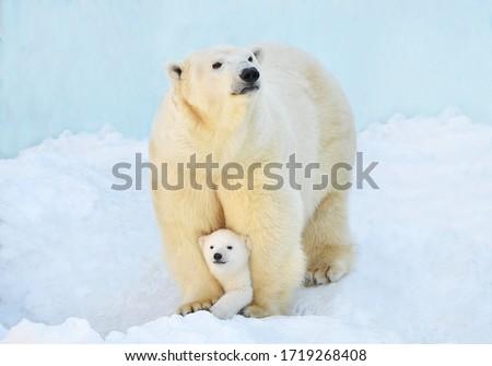 A polar bear with a small bear cub in the snow. Royalty-Free Stock Photo #1719268408