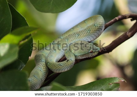 Pit viper snake on a branch tree, close up picture, brown eye on focus. Bako national park, Sarawak, Malaysia