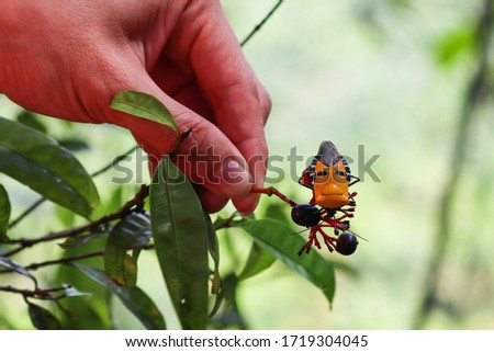 Catacanthus incarnatus. Orange color. Anthropomorphic man-faced bug insect posed on a branch. Human hand on the picture for size comparison. Kinabatangan river area, Sabah, Malaysia, Southeast Asia
