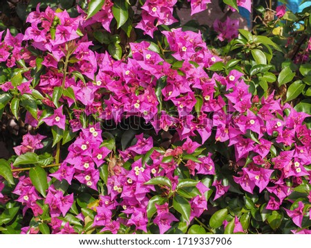 Floral background of pink flowers Glabra or Buttiana known as Great Bougainvillea. Paperflower or Bougainvillea spectabilis is woody vine shrub, ornamental, flowering plant in the family Nyctaginaceae #1719337906