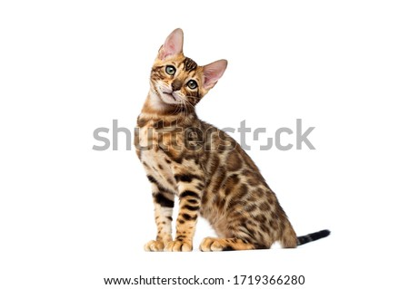 bengal cat sitting on a white background Royalty-Free Stock Photo #1719366280