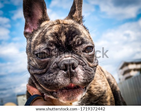 Portrait of small brindle French bulldog against blue sky and white cloud, low angle view , Funny animal photo concept #1719372442