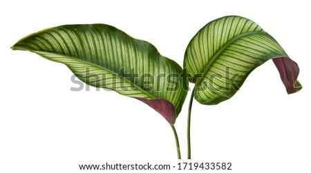Calathea ornata leaves(Pin-stripe Calathea),Tropical foliage isolated on white background. #1719433582