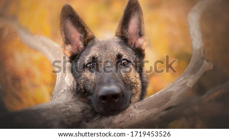 German Shepherd dog adorable portrait #1719453526