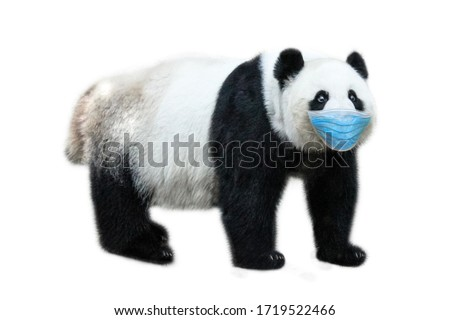 COVID-19 infections in animals. Giant Panda bear with surgical face mask on white background. Concept of flu of pet and coronavirus infections in veterinary. Symbol of Chinese tradition and culture.