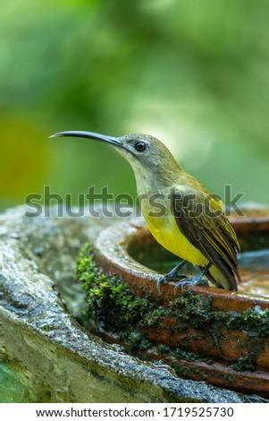 Indian spider hunter bird photos
