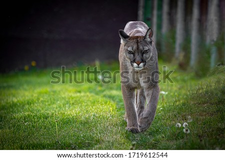 The cougar (Puma concolor) is a large felid of the subfamily Felinae. It is native to the Americas #1719612544