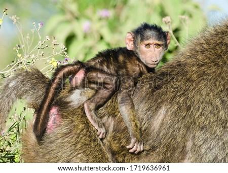 Baby olive baboon (Papio Anubis) on the back of an adult baboon, Lake Nakuru, Kenya