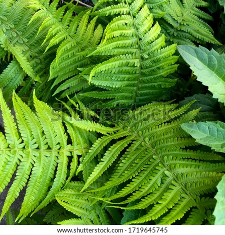 macro Photo of green fern petals. Stock photo  plant fern blossomed. Fern on the background of green plants. #1719645745
