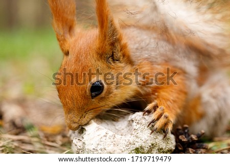 The squirrel sharpens its teeth against a stone. An unusual kind of animal in its natural habitat.