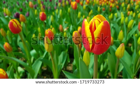 Red yellow tulips against green foliage. Red and yellow Darwin hybrid tulips. Red yellow Darwin hybrid tulip. Red and yellow tulips. Bicolor tulip field. Hybrid tulip fields. Colorful tulips. #1719733273