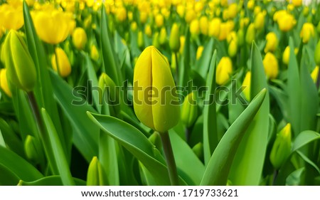 Yellow tulips against green foliage. Yellow tulips background. Tulip fields. Yellow tulips field. Tulip backdrop. Blooming tulips. Yellow tulip buds. Blooming tulip bud.