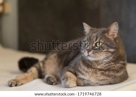 Close up portrait of a beautiful grey domestic cat resting on a bed. Royalty-Free Stock Photo #1719746728