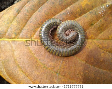 Centipede centipede with leaf blower background. Spiral animal, insects with many leg, shell method of centipede. Royalty-Free Stock Photo #1719777739