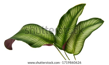 Calathea ornata leaves(Pin-stripe Calathea),Tropical foliage isolated on white background. #1719860626