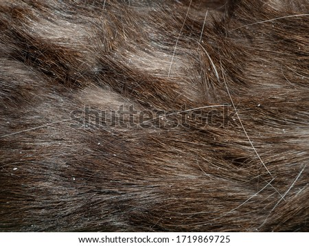 bad hair of a Siamese cat with dandruff close up Royalty-Free Stock Photo #1719869725
