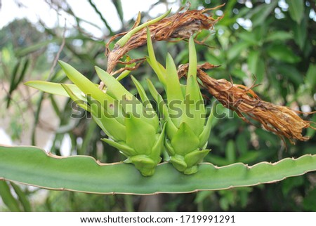 Twin Red dragon fruit on plant is raw fruit, incredible and strange. #1719991291