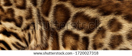 background texture of spotted wool bengal cat Royalty-Free Stock Photo #1720027318