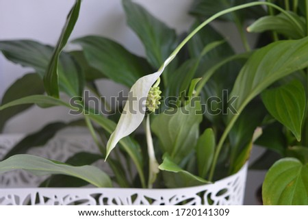 White spathiphyllum in a white openwork planter #1720141309
