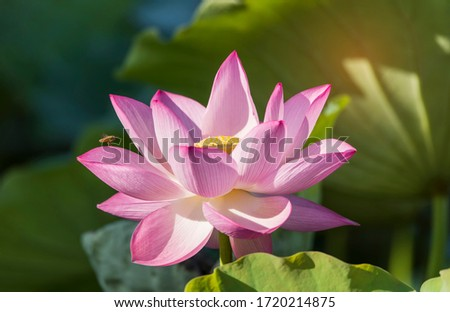 lotus flower blooming in summer pond with green leaves as background #1720214875