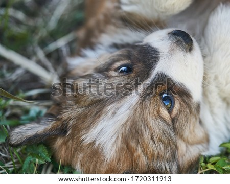 Puppy resting in the grass. Close up photo. Royalty-Free Stock Photo #1720311913