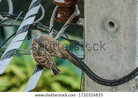 Mother Dove and her baby Dove relaxing on a electricity wire. Two Doves perched on a wire. Columbidae bird family. Zebra dove or peaceful dove (Geopelia Striata) a common bird in Thailand. #1720326835