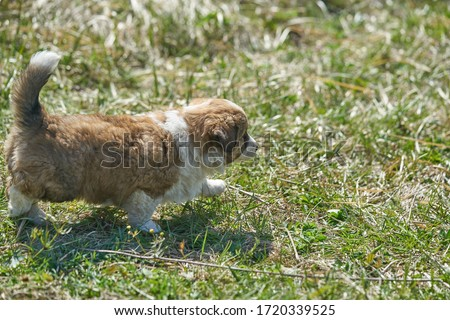 Dog on green meadow. Beagle puppy walking Royalty-Free Stock Photo #1720339525