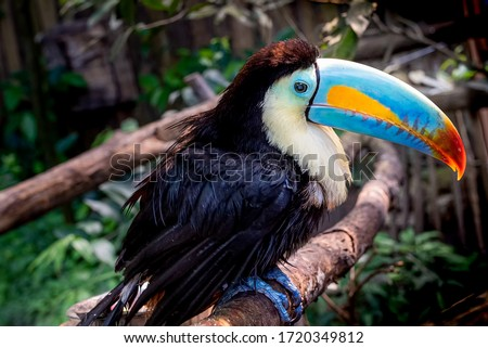 One keel-billed toucan is perching on the tree branch.