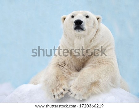 A polar bear is lying in the snow. Royalty-Free Stock Photo #1720366219