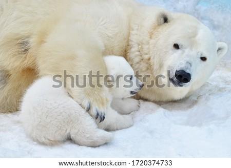 Polar bear with a bear cub. Royalty-Free Stock Photo #1720374733