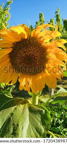 organic sunflower turned face in the garden #1720438987