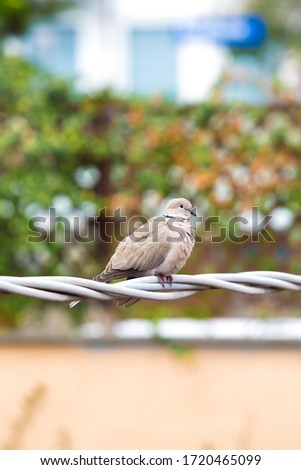 Beige dove sit on electric white cable between houses. Orange wall and terrace hence with green plants in background. Isolated bird outdoors. Vertical picture of urban fauna