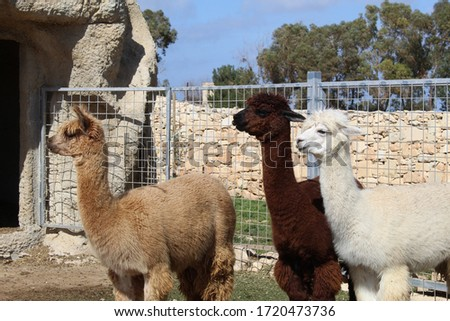 Alpacas with different colour fur. Picture taken in island Malta.They look gorgeous.