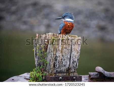The Kingfisher is a bird from the southern of Chile, usually seen in tree branches of the edge of river and lakes. Royalty-Free Stock Photo #1720523245