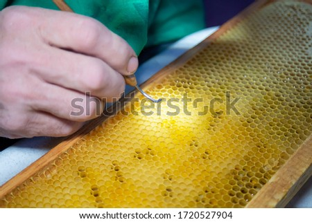 Larva of bee, selected for growing queen bee. Tool for picking larvae from honeycombs on a frame. Honeybee Queen Grafting from Larvae into DIY Queen Cups. Selestive focus. #1720527904
