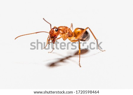 Camponotus nylanderi posing for macro photography on white paper background