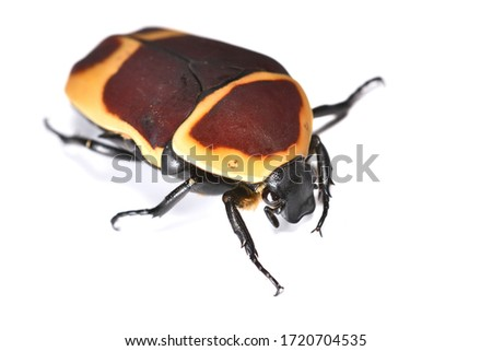 Closeup picture of adult African Sun Beetle Pachnoda marginata perigrina (Coleoptera: Scarabaeidae), photographed on white background