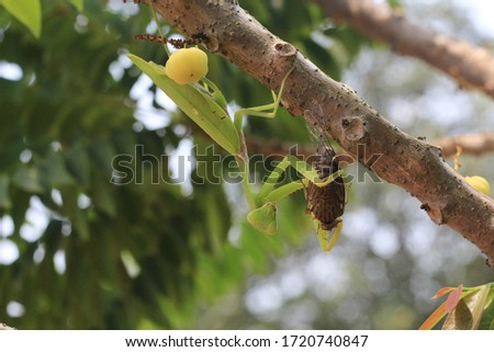 Praying mantis eating insect on tree.Mantis religiosa, action scene #1720740847