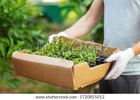cartoon box with small pepper sprouts ready for seeding in the hands of a man in gloves. Spring seedlings. Plant care. Watering and transplanting vegetables on a personal plot. Delivery seedlights