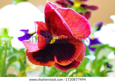 Sweet colorful pansy flower bouquet.  Close-up of pretty multicolored garden pansies.