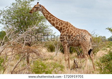 Horizontal image of a giraffe grazing in the African green forest. Giraffe isolated in the savanna in Africa, safari in Tanzania and Uganda wildlife photography African safari tours. Nature reserve. #1720919701