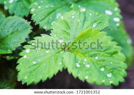 Green Strawberry leaves after the rain. Clear Dew drops on the leaves. Wet leaves in Summer morning background. Selective focus. #1721001352