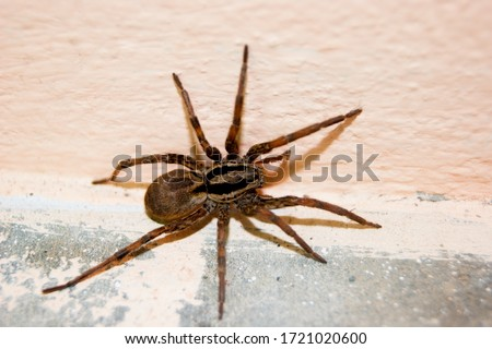 A family of araneomorphic spiders - a funnel spider crawls on a sunny summer day on a warm concrete floor near the wall. Insects. Arthropods Royalty-Free Stock Photo #1721020600